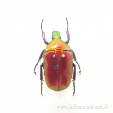 Torynorrhina flammea flammea (rouge)
