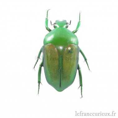 Megaphonia adolphinae -...