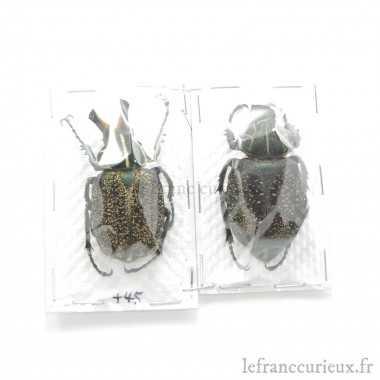 Inca clathrata sommeri (Couple)