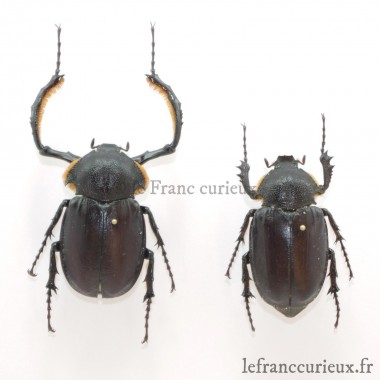 Propomacrus bimucronatus (Couple)