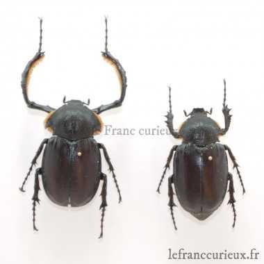 Propomacrus bimucronatus -...