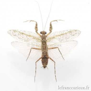 Chrysocarabus rutilans jeannei