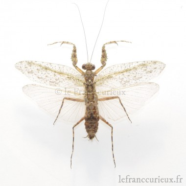 Theopompa servillei - mâle