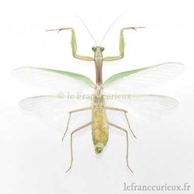 Chrysocarabus rutilans s. str. f. ind. darnaudi