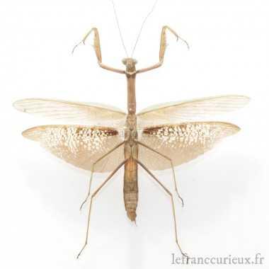 Mantidae sp. (M.)