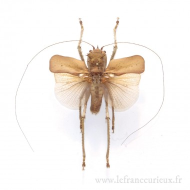 Acridoxena hewaniana (M.)