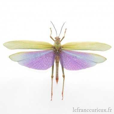Titanacris albipes (M.)