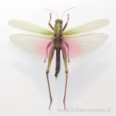 Chondracris rosea