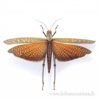 Tropidacris cristata...