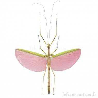 Necroscia annulipes
