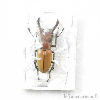 Cyclommatus alagari