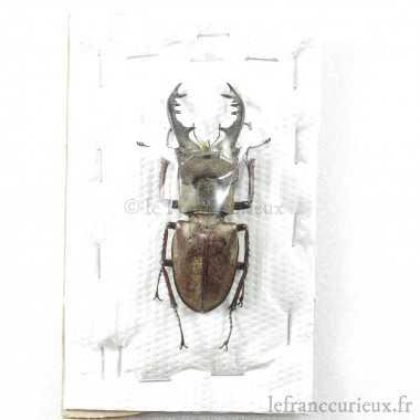 Lucanus maculifemoratus...