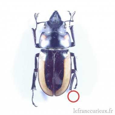 Prosopocoilus spectabilis