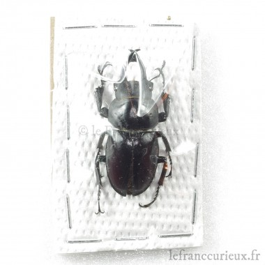 Neolucanus delicatus f. noire