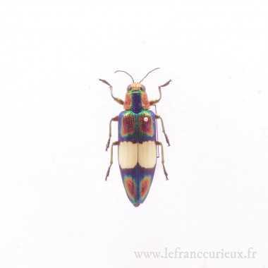 Chrysochroa fulgens - femelle