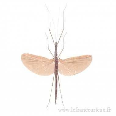 Gargantuoidea triumphalis