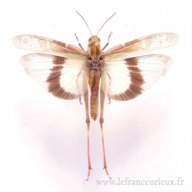 Gastrimargus africanus parvulus