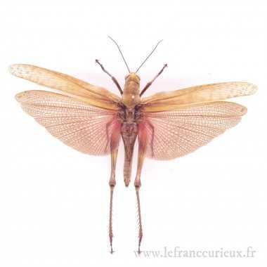 Valanga nigricornis...
