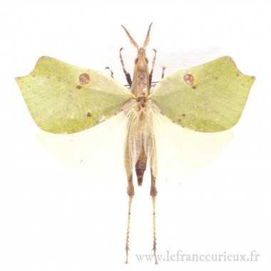 Pachyrrhynchus congestus pavonius