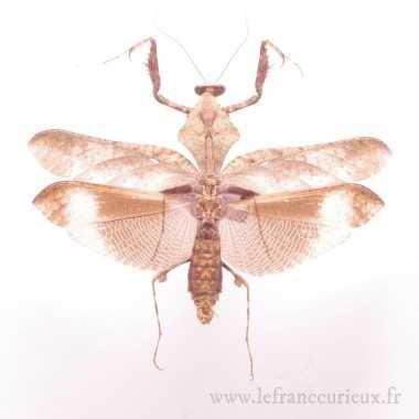 Deroplatys lobata (M.)