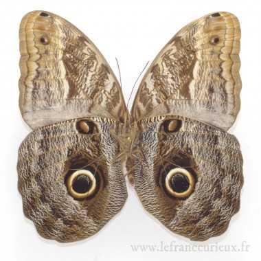 Caligo placidianus