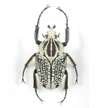 copy of Goliathus goliatus