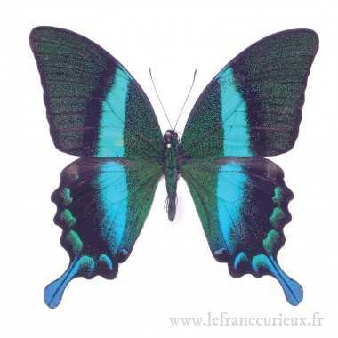 Papilio blumei blumei (M.)