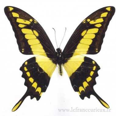 Papilio thoas cinyras - mâle