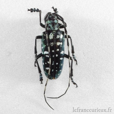 Trigonophorus nepalensis (vert) (C.)