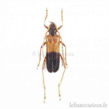 Schmidtiana violaceothoracica