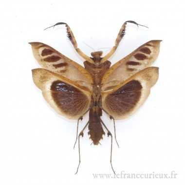 Deroplatys desiccata - mâle