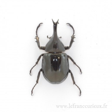 Xylotrupes gideon tanahmelayu - mâle - 60-64mm
