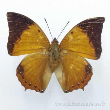 Charaxes bernardus crepax