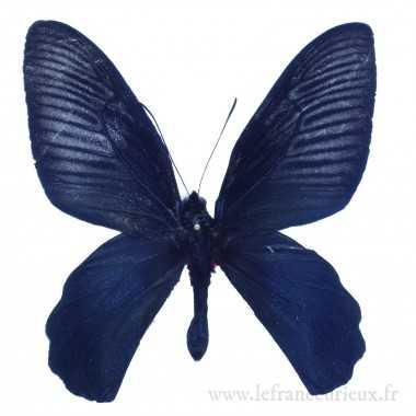 Atrophaneura dixoni - mâle