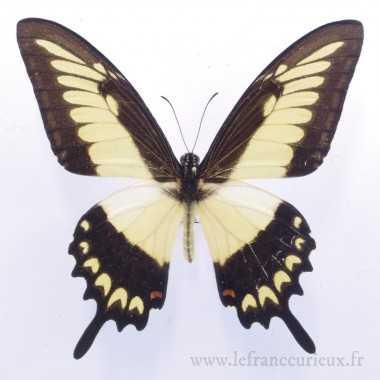 Papilio lycophron phanias (M.)