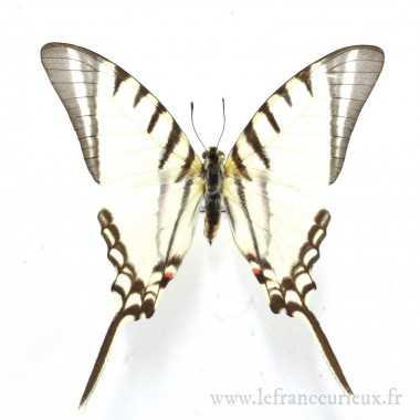 Protographium agesilaus autosilaus - mâle
