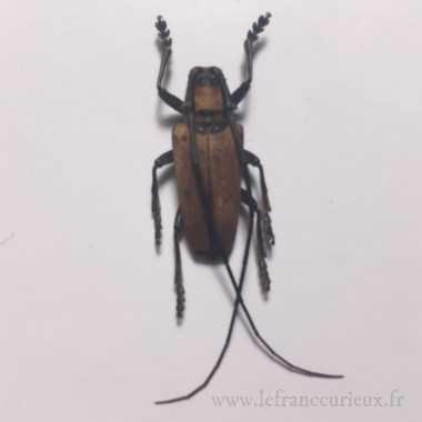 Cereopsius praetorius -...