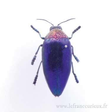 Sternocera pulchra fischeri