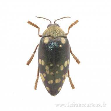 Sternocera castanea boucardii