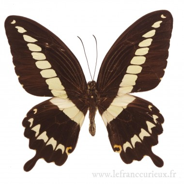 Papilio gigon gigon - mâle
