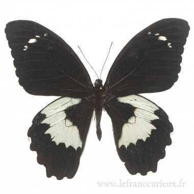 Papilio gambrisius gambrisius - mâle