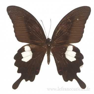 Papilio helenus helenus - mâle