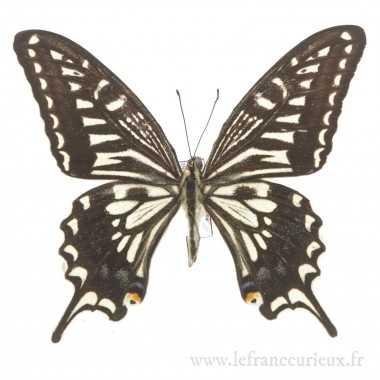 Papilio xuthus xuthus