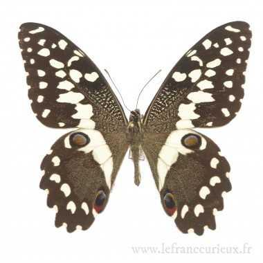 Papilio demodocus demodocus