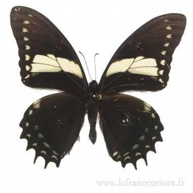 Papilio aristeus bitias
