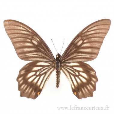 Papilio (Chilasa) veiovis -...