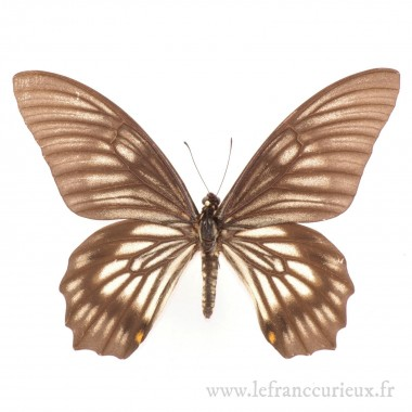 Papilio (Chilasa) veiovis - mâle
