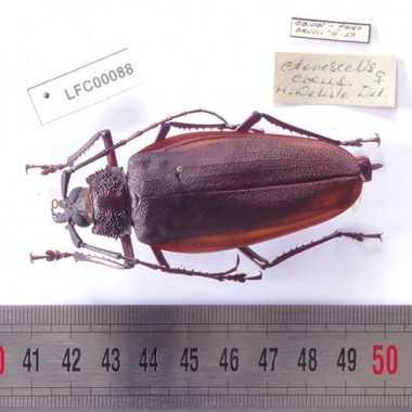 Ctenoscelis Coeus - femelle
