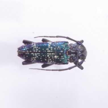 Sphingnotus insignis albertisi