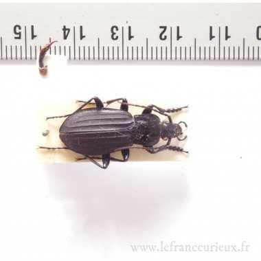 Carabus (Aulonocarabus) praedo